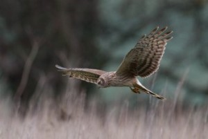 Phot 1 (c) Shay Connolly Female Hen Harrier foraging