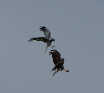 Photo 2 (c) Marc Ruddock Male & Female Hen Harrier food passing