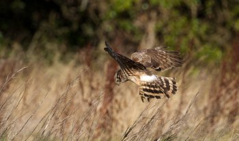Photo 4 (c) Shay Connolly Female Hen Harrier foraging
